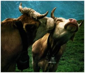 art_cows