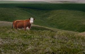 yvonne-cow-runaway