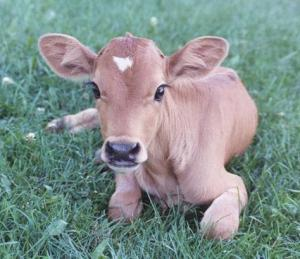 baby-jersey-cow