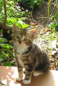 kitten-tabby