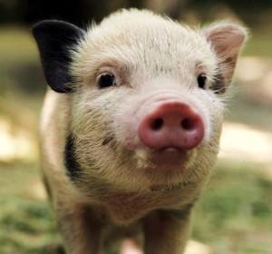 little-big-pig