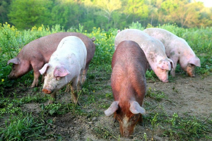 Pigs foraging