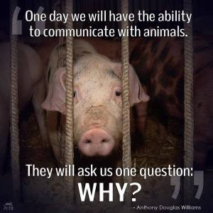 Pigs - Why?