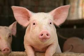 Cutie Piglet